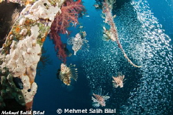 Hunting lion fishes in Cedar's Pride wreck. by Mehmet Salih Bilal 